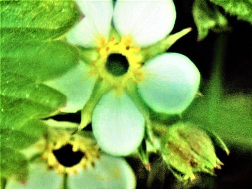 Blüte einer Wald-Erdbeere(Fragaria vesca(L.))