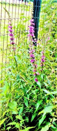 Blutweiderich(Lythrum salicaria(L. ))
