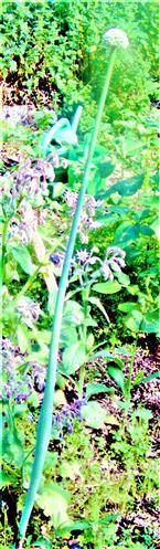 Winterzwiebel(Alium fistulosum(L.))