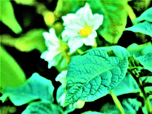 Blühendes Kartoffelkraut(Solanum tuberosum(L.))