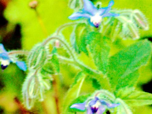 Blüten eines Borretschs(Borago officinalis(L.))