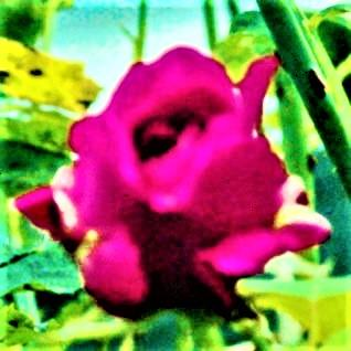 Violette Kultur- bzw. Gartenrose(Rosa(L.))