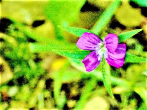 Kornrade(Agrostemma githago(L.))