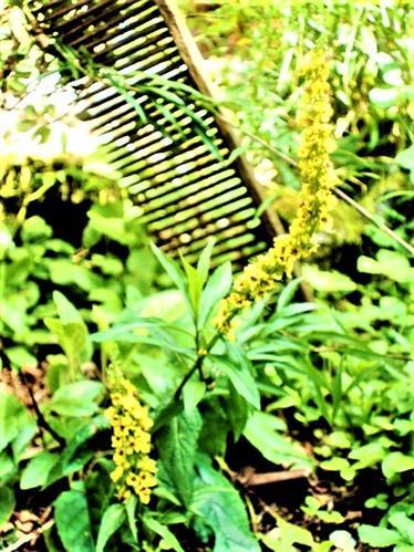 Schwarze Königskerze(Verbascum nigrum(L.))