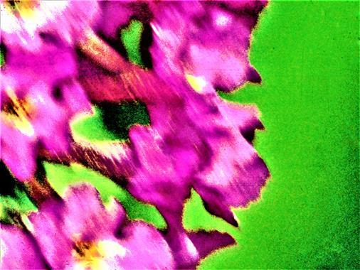 Blüten eines Gewöhnlichen Sommerflieders(Buddleja davidii(Franch.))