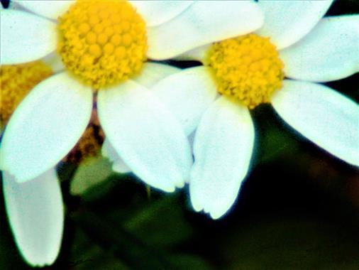 Blüten der Geruchlosen Kamille(Tripleurospermum inodorum(L.)Sch. Bip.)