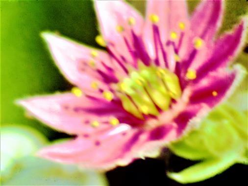 Blüte einer Spinnweb-Hauswurz(Sempervivum arachnoideum(L.))