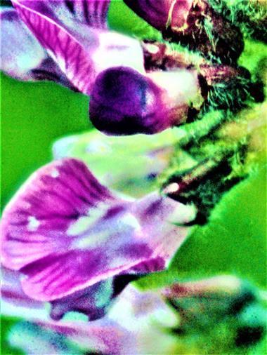 Blüten einer Zaunwicke(Vicia sepium(L.))