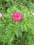Kartoffelrose(Rosa rugosa(Thunb.))
