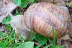 Gestreifte Weinbergschnecke(Helix lucorum(L. 1758))