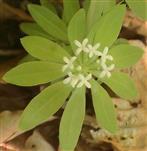 Blüten des Waldmeisters(Galium odoratum(L.)Scop.)