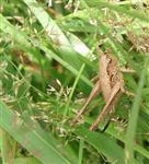 Gemeine Strauchschrecke(Pholidoptera griseoaptera(De Geer 1773)) Weibchen