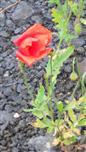 Klatschmohn(Papaver rhoeas(L.))