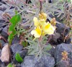 Echtes Leinkraut(Linaria vulgaris(Mill.))