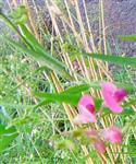Knollen-Platterbse(Lathyrus tuberosus(L.))