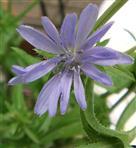 Blüte einer gemeinen Wegwarte(Cichorium intybus(L.))