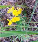 Gewöhnlicher Hornklee(Lostus corniculatus(L.))