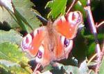 Tagpfauenauge(Aglais io(L. 1758)) 1