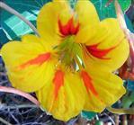 Blüte einer Kapuzinerkresse(Tropaeolum minus(L.))