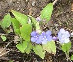 Frühlings-Nabelnüsschen(Omphaldes verna(Moench))