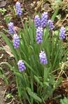 Weinbergs-Traubenhyazinthe(Muscari neglectum(Guss. ex Ten.))