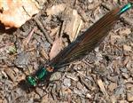 Blauflügel-Prachtlibelle(Calopteryx virgo(L. 1758)) Männchen