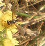 Dungwaffenfliege(Sargus bipunctatus) Weibchen