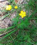 Acker-Hahnenfuß(Ranunculus arvensis(L.))