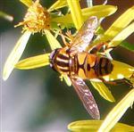Große Sumpfschwebfliege(Heliophilus trivittatus(Fabricius 1805))