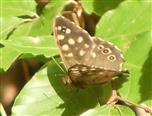 Waldbrettspiel(Pararge aegeria(L. 1758))