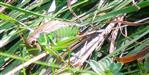 Roesels Beißschrecke(Metrioptera roeselii) Weibchen