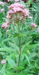 Gewöhnlicher Wasserdost(Eupatorium cannabinum(L.))