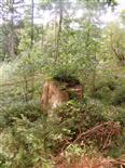Fichte(Picea abies(A.Dietr.))