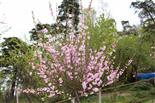 Mandelbäumchen(Prunus dulcis(Mill.) D. A. Webb) in Blüte