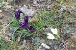 Holländische Krokusse sowie zweiblättriger Blaustern(Scilla bifolia(L.))