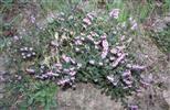 Besenheide(Calluna vulgaris(L.) Hull)
