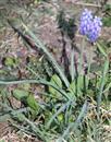 Weinberg-Traubenhyazinthe(Muscari neglectum(Guss. ex Ten.))