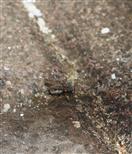 Stubenfliege(Musca domestica(L.))