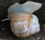 Weinbergschnecke(Helix pomatia(L.))