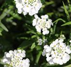 Schleifenblume(Iberis) bzw.Steinkraut (Alyssum) weißblühend im Vorgarten
