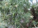 Beerenförmige Zapfen des Heide-Wacholder(Juniperus communis(L.)) aus diesem wie letzten Jahr