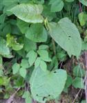 Japanischer Staudenknöterich(Fallopia japonica(Houtt.)Ronse Decr.)