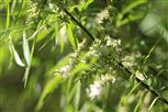 Blüten einer Korbweide(Salix viminalis(L.))