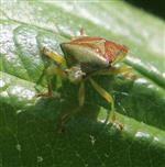 Bunte Blattwanze(Elasmostethus interstinctus(L. 1758))