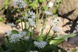 Blühender Bärlauch(Allium ursinum(L.))