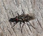 Blumenfliege (Eustalomyia hilaris)