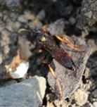 Schlupfwespe (Ctenichneumon panzeri)