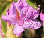 Rhododendron Blüte violett(Rhododendron ponticum(L. 1753))