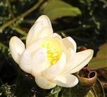 Knospe einer Weißen Seerose(Nymphaea alba(L.)) 1