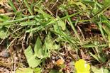 Ackerhummel(Bombus pascuorum(Scopoli 1763)) 1